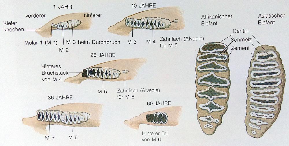 los dientes de los elefantes