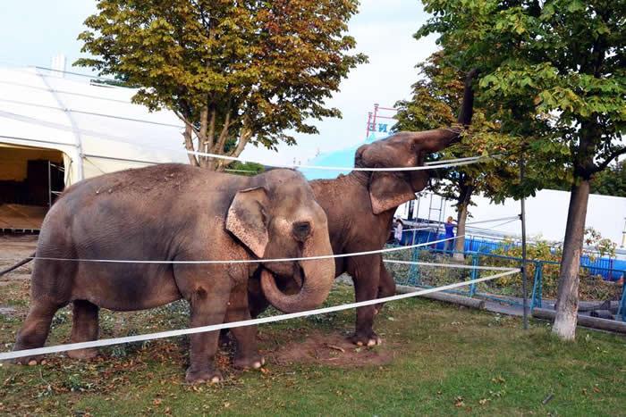 Los elefantes en el Circo Krone