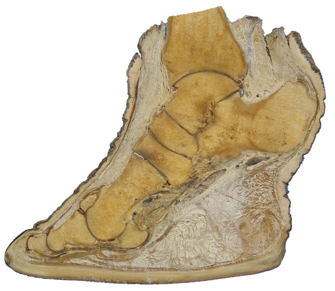 Sección transversal de una pata de elefante