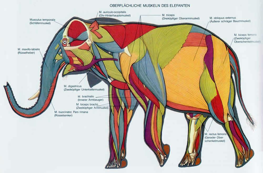 Anatomía de los elefantes – Upali.ch