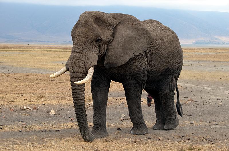 Elefante de Sabana o Matorral (Loxodonta africana africana)