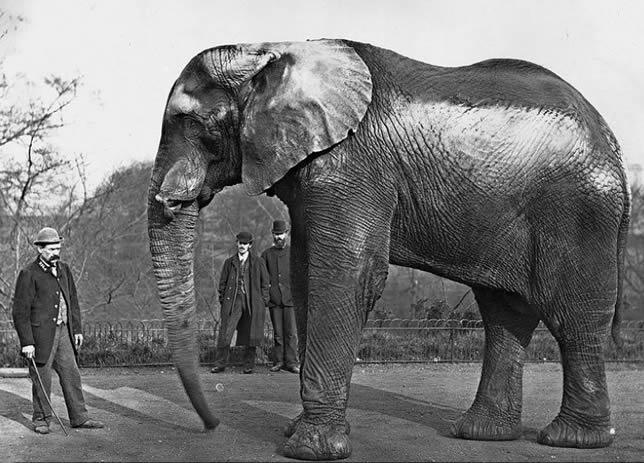 Jumbo elefante africano
