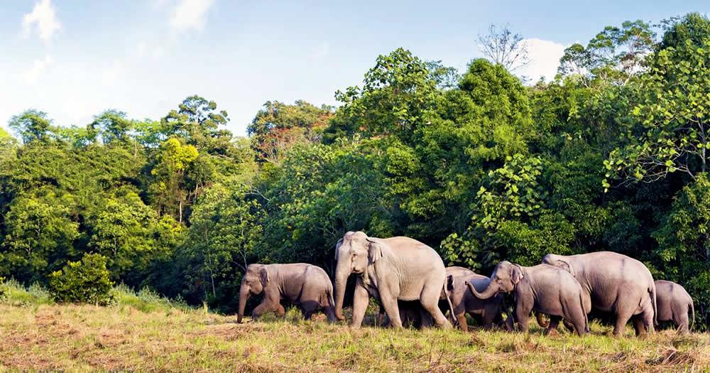 Los elefantes asiáticos