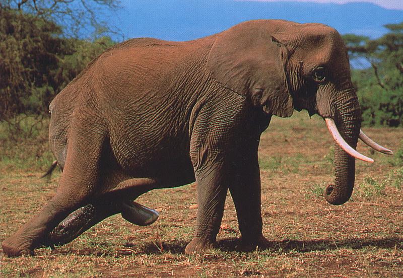 Nacimiento de un elefante africano