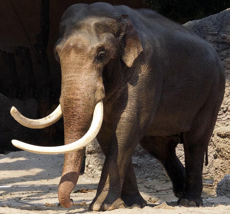 Elefante macho Maxie