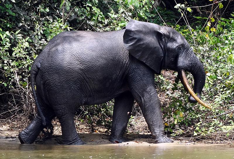 Elefante de Bosque (Loxodonta africana cyclotis)