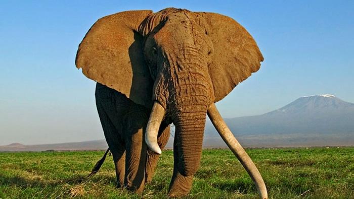 El majestuoso toro del elefante africano