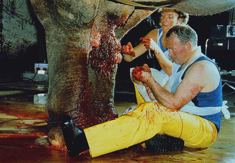 Clítoris - Operación en una vaca elefante