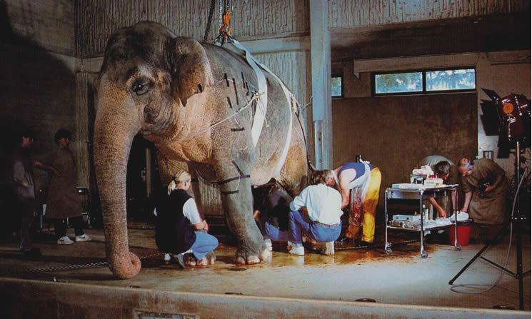 Vaca elefante sedada Druk