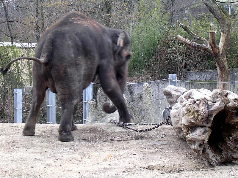 Indy lucha con un tronco de árbol